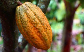 Estudio mexicano halla que molécula del cacao genera autodestrucción de células cancerosas - Sweetter